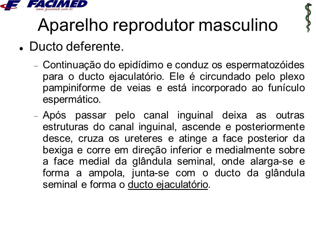 Aparelho reprodutor masculino Ducto deferente.  Continuação do epidídimo e conduz os espermatozóides para o ducto ejaculatório. Ele é circundado pelo