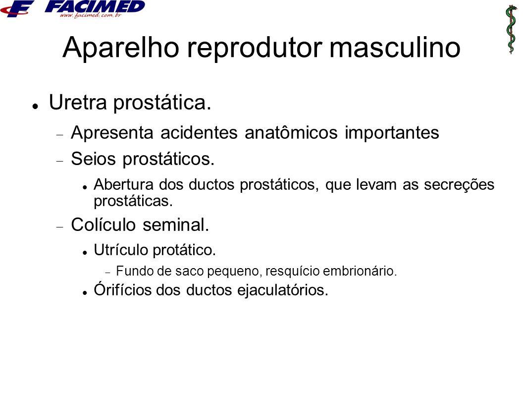 Aparelho reprodutor masculino Uretra prostática.  Apresenta acidentes anatômicos importantes  Seios prostáticos. Abertura dos ductos prostáticos, qu