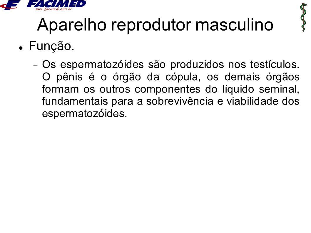 Aparelho reprodutor masculino Função.  Os espermatozóides são produzidos nos testículos. O pênis é o órgão da cópula, os demais órgãos formam os outr