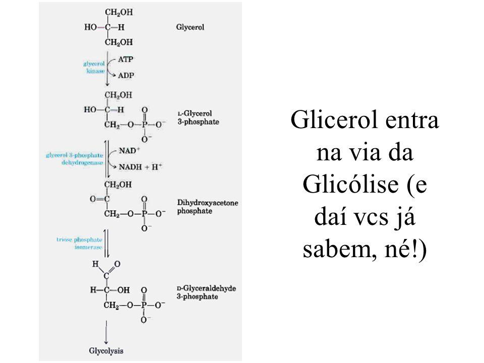 Glicerol entra na via da Glicólise (e daí vcs já sabem, né!)
