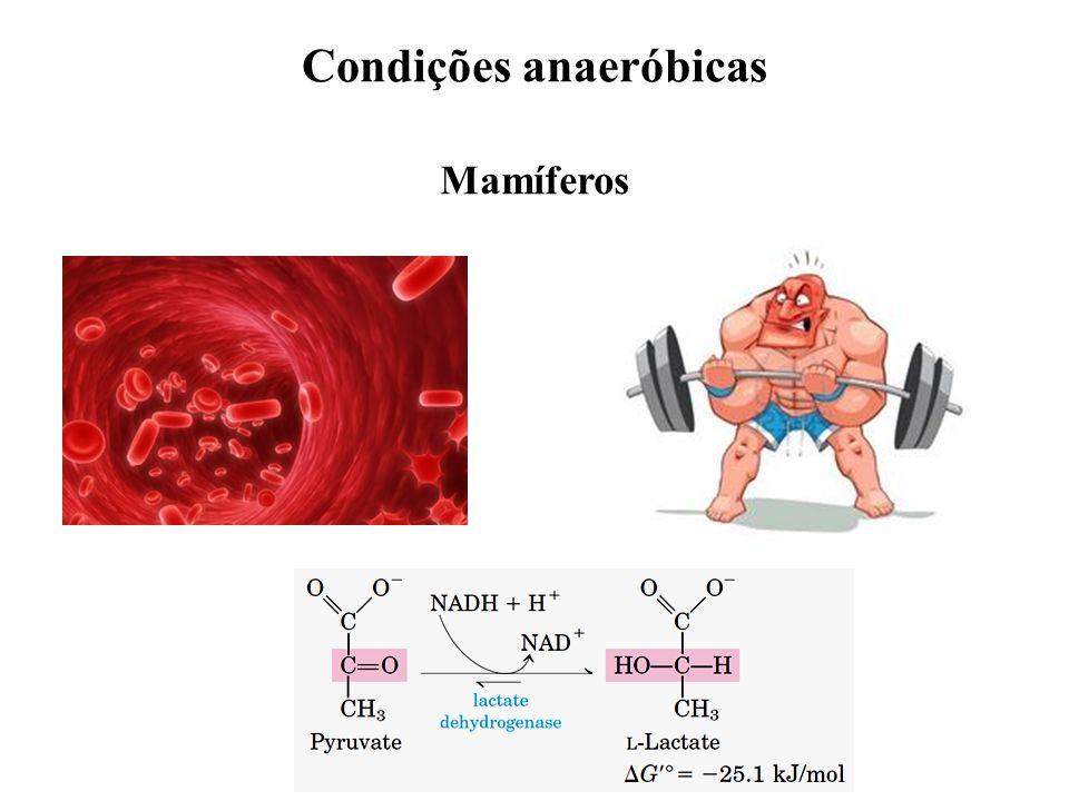 Condições anaeróbicas Mamíferos