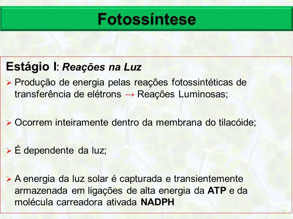 Fotossíntese Estágio I : Reações na Luz  Produção de energia pelas reações fotossintéticas de transferência de elétrons → Reações Luminosas;  Ocorre