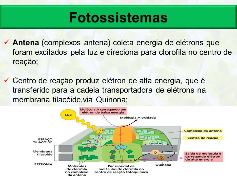 Fotossistemas 15 Antena (complexos antena) coleta energia de elétrons que foram excitados pela luz e direciona para clorofila no centro de reação; Cen