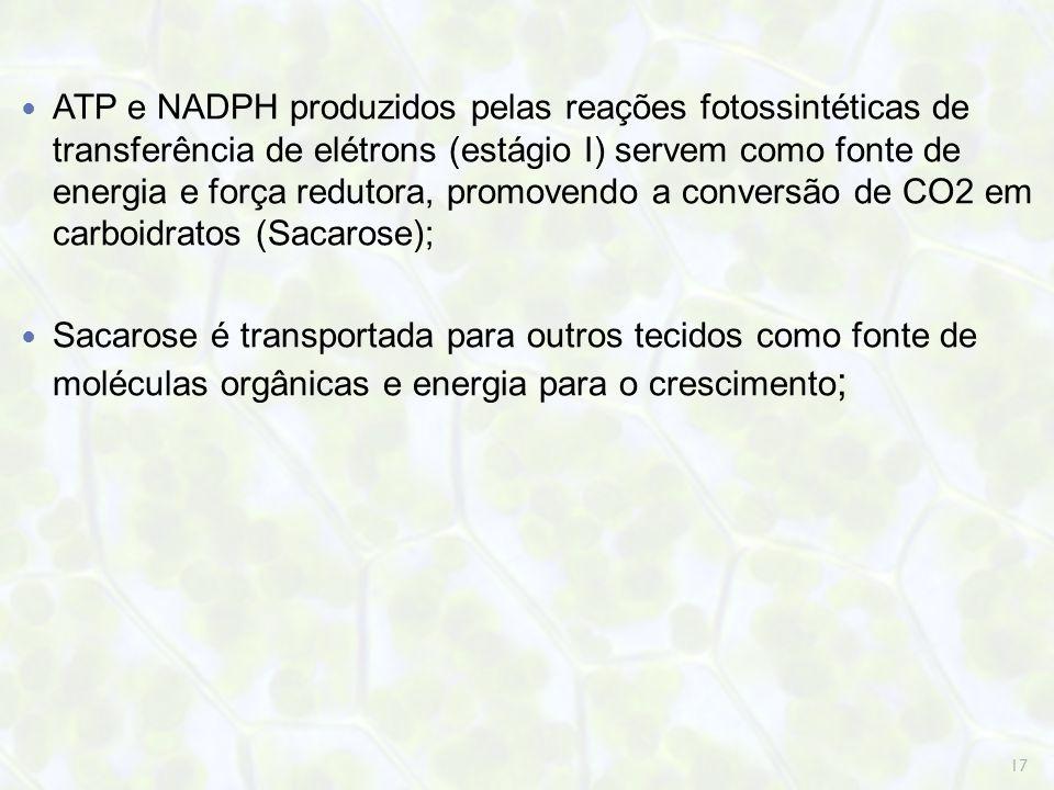 ATP e NADPH produzidos pelas reações fotossintéticas de transferência de elétrons (estágio I) servem como fonte de energia e força redutora, promovend
