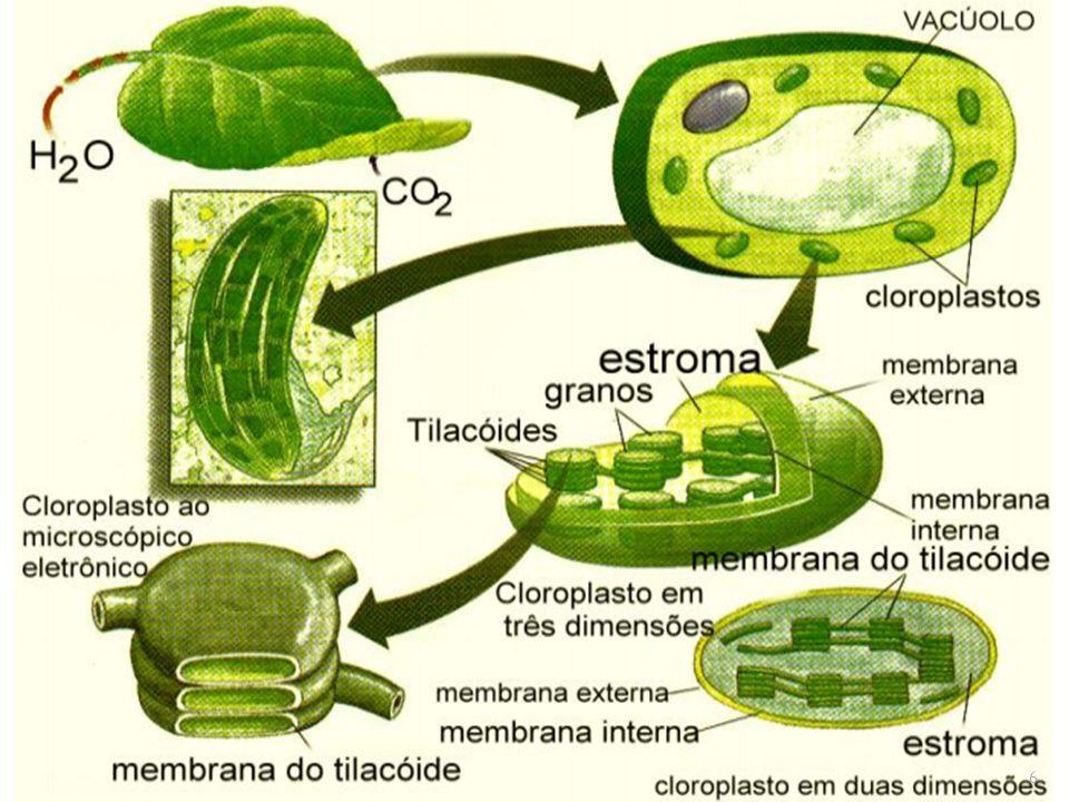 ATP e NADPH produzidos pelas reações fotossintéticas de transferência de elétrons (estágio I) servem como fonte de energia e força redutora, promovendo a conversão de CO2 em carboidratos (Sacarose); Sacarose é transportada para outros tecidos como fonte de moléculas orgânicas e energia para o crescimento ; 17