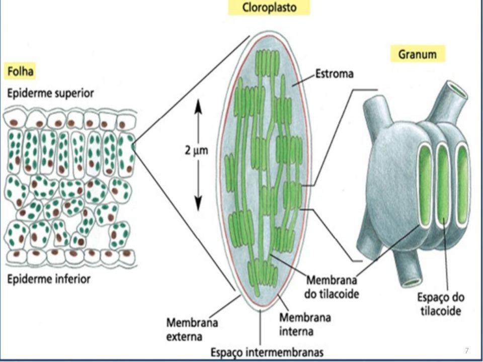 Cloroplastos: características  Composição : 50% de proteínas, 35% de lipídeos, 5% de clorofila, água e carotenoides;  Possuem RNA, DNA e ribossomos, podendo assim sintetizar proteínas e multiplicar-se;  Variam em tamanho e forma entre as diferentes células;  Os cloroplastos realizam fotossíntese durante as horas diurnas;  Células que realizam fotossíntese contém cerca de 40 a 200 cloroplastos, que se movimentam em função da intensidade de luz; 8