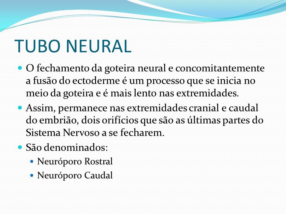 TUBO NEURAL O fechamento da goteira neural e concomitantemente a fusão do ectoderme é um processo que se inicia no meio da goteira e é mais lento nas extremidades.