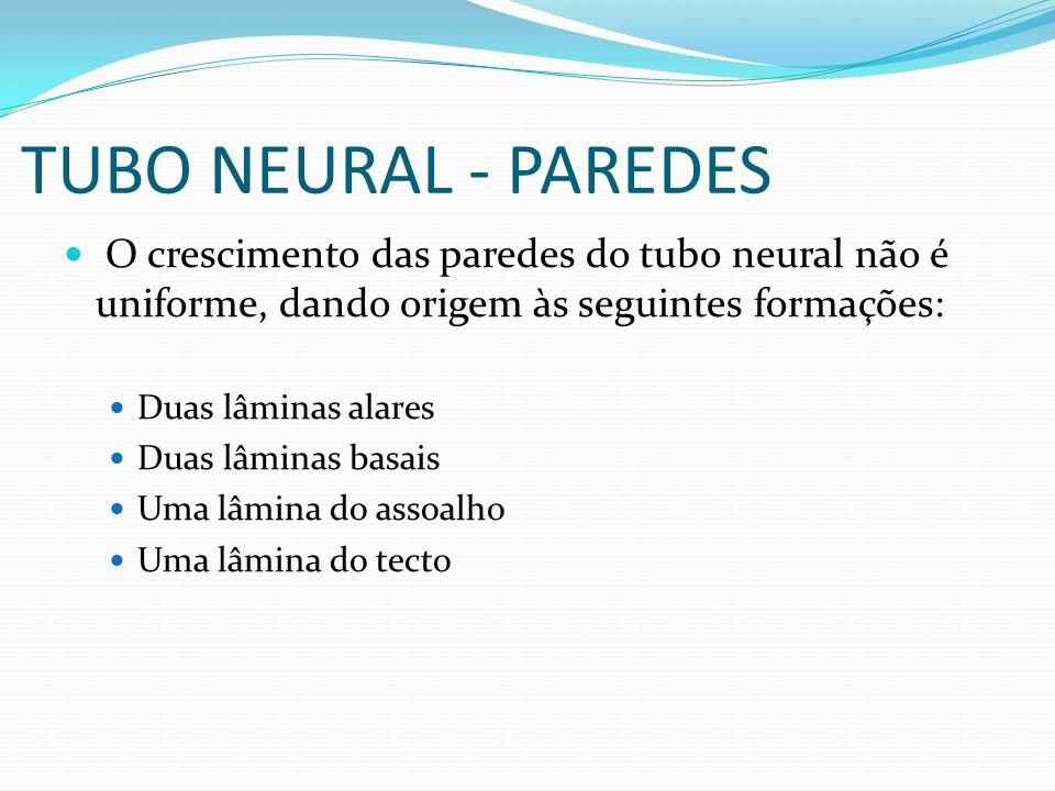 TUBO NEURAL - PAREDES O crescimento das paredes do tubo neural não é uniforme, dando origem às seguintes formações: Duas lâminas alares Duas lâminas basais Uma lâmina do assoalho Uma lâmina do tecto