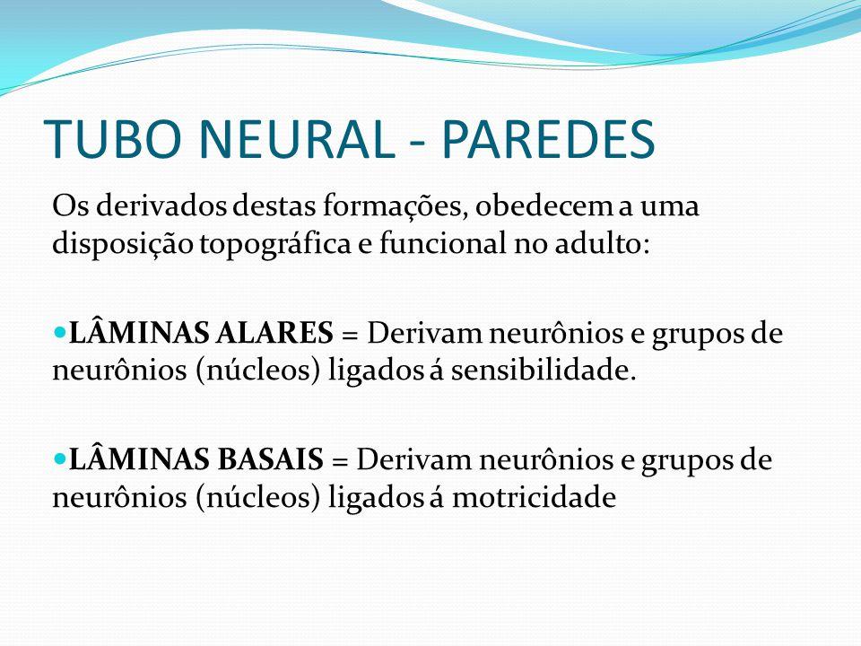 Os derivados destas formações, obedecem a uma disposição topográfica e funcional no adulto: LÂMINAS ALARES = Derivam neurônios e grupos de neurônios (núcleos) ligados á sensibilidade.