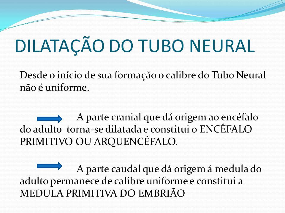DILATAÇÃO DO TUBO NEURAL Desde o início de sua formação o calibre do Tubo Neural não é uniforme.
