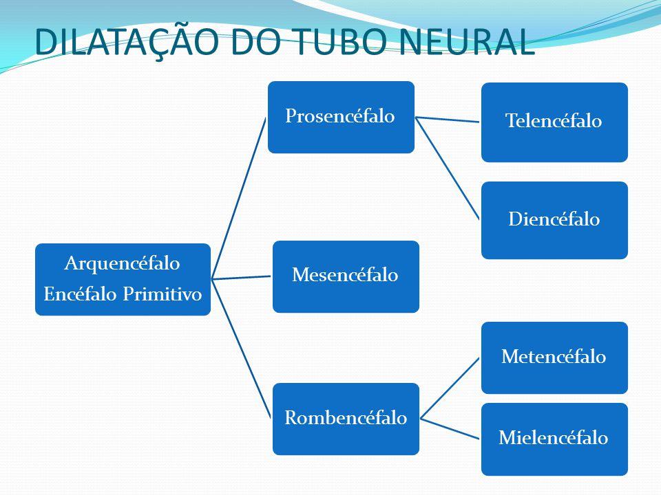 DILATAÇÃO DO TUBO NEURAL Arquencéfalo Encéfalo Primitivo Prosencéfalo Telencéfalo Diencéfalo MesencéfaloRombencéfaloMetencéfaloMielencéfalo