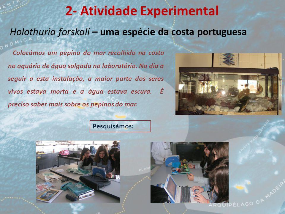 2- Atividade Experimental Holothuria forskali – uma espécie da costa portuguesa Colocámos um pepino do mar recolhido na costa no aquário de água salgada no laboratório.