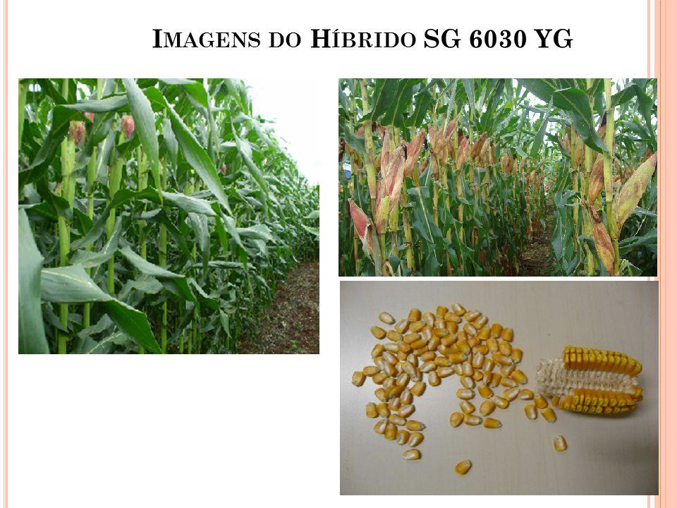 I MAGENS DO H ÍBRIDO SG 6030 YG