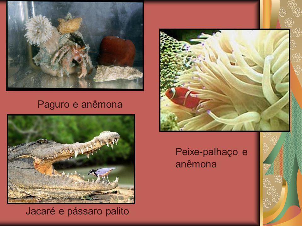  Protocooperação É uma associação não obrigatória, na qual ambas espécies se beneficiam. Ex.: Caranguejo-eremita, pássaro-palito e crocodilo, anu e g