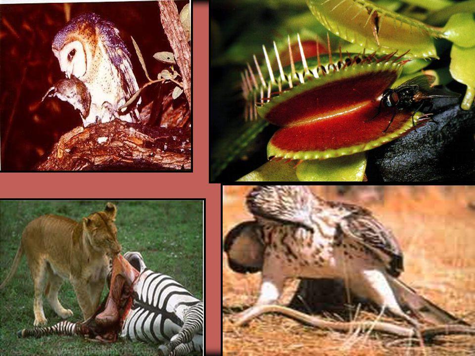  Predatismo Interação em que um indivíduo de uma espécie (predador) um indivíduo de outra espécie (presa) para alimentar-se. Relações Desarmônicas