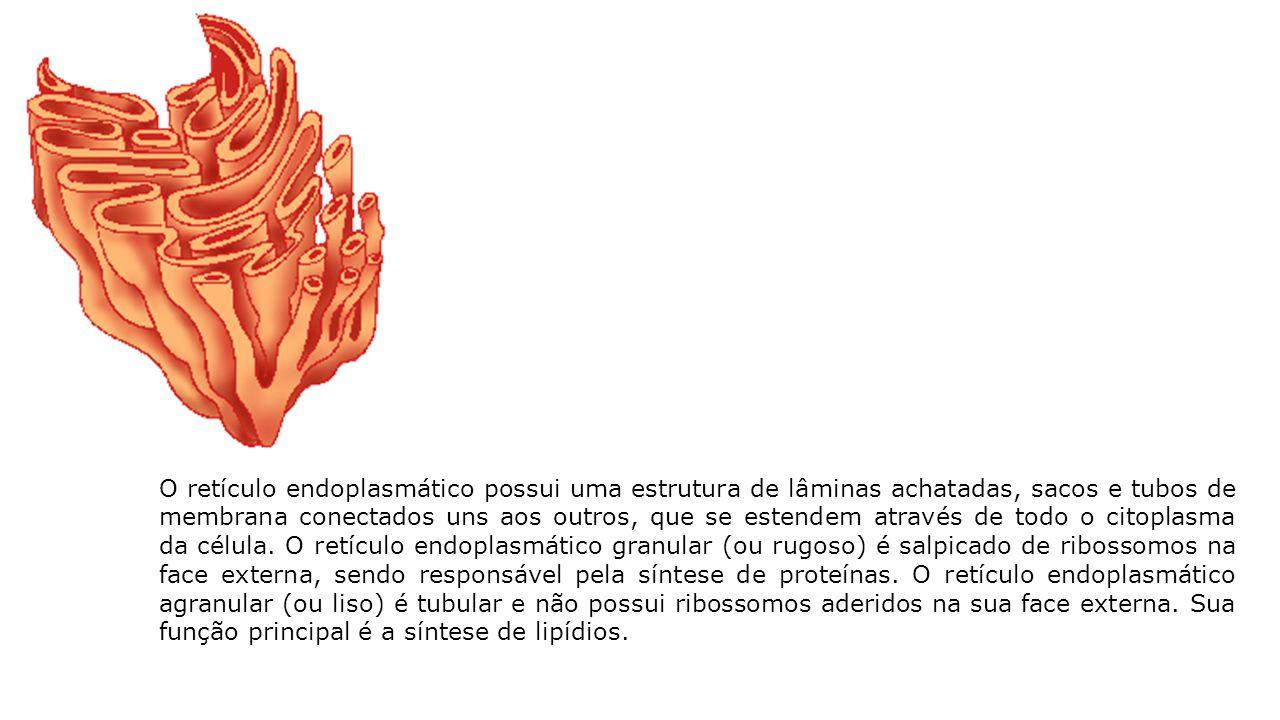 O retículo endoplasmático possui uma estrutura de lâminas achatadas, sacos e tubos de membrana conectados uns aos outros, que se estendem através de t