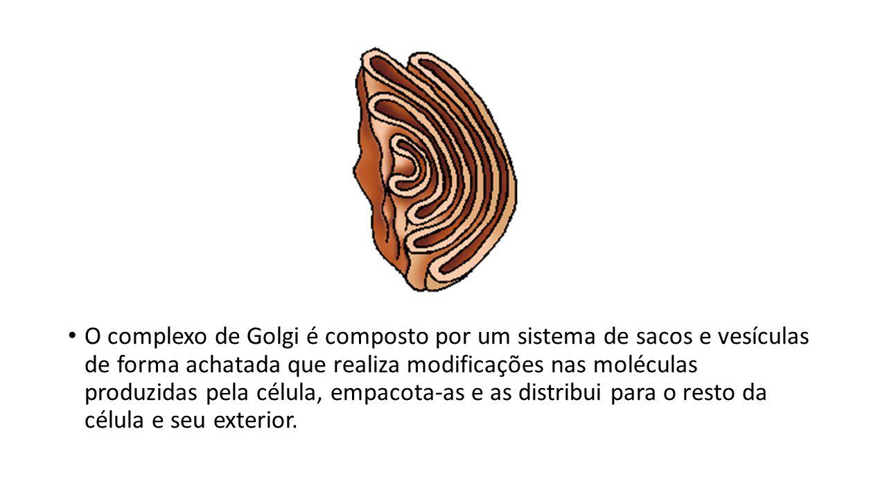 O complexo de Golgi é composto por um sistema de sacos e vesículas de forma achatada que realiza modificações nas moléculas produzidas pela célula, em