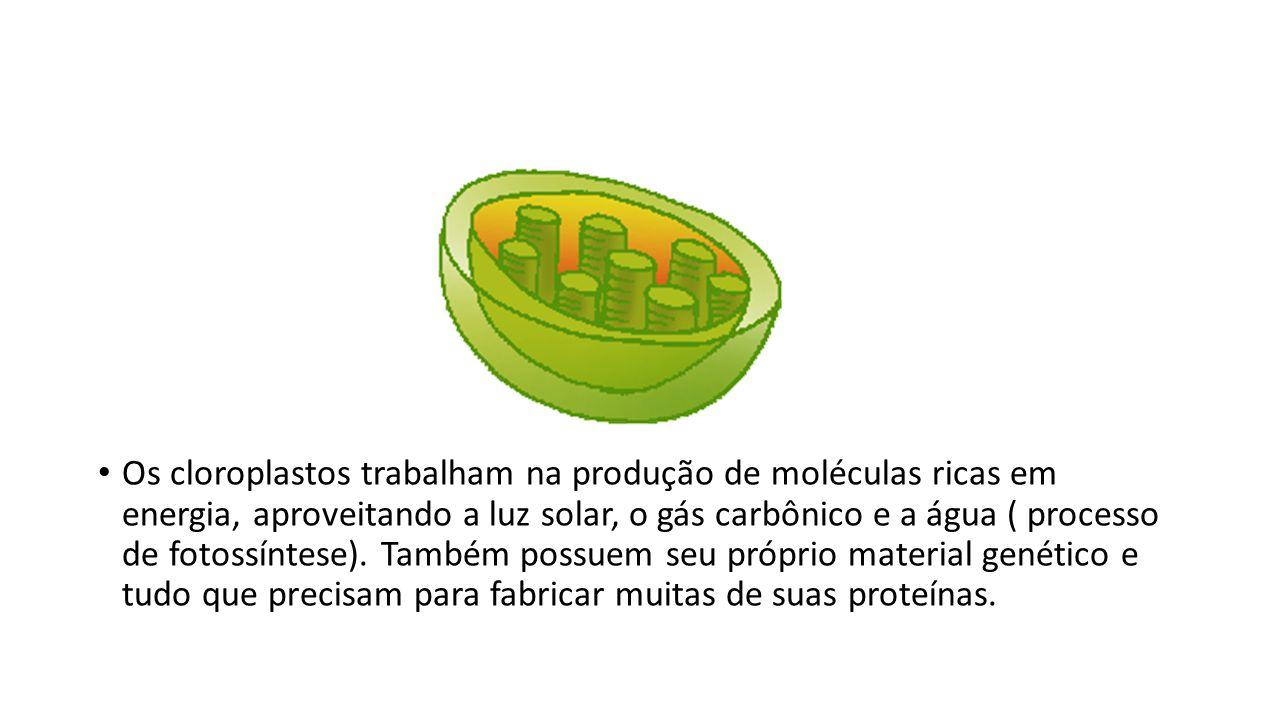 Os cloroplastos trabalham na produção de moléculas ricas em energia, aproveitando a luz solar, o gás carbônico e a água ( processo de fotossíntese). T