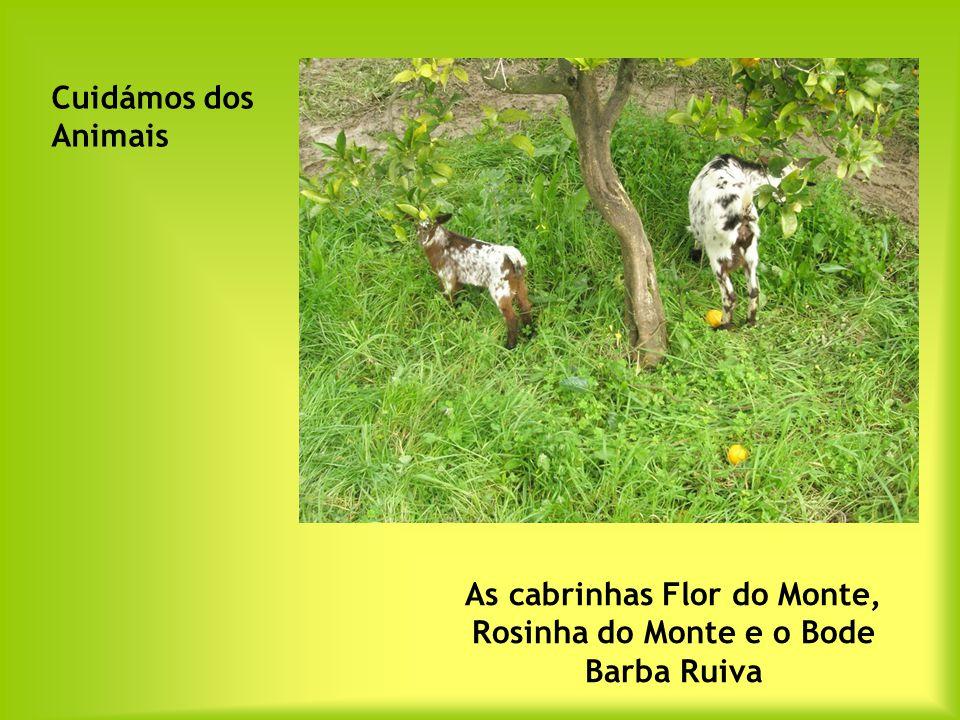 As cabrinhas Flor do Monte, Rosinha do Monte e o Bode Barba Ruiva Cuidámos dos Animais