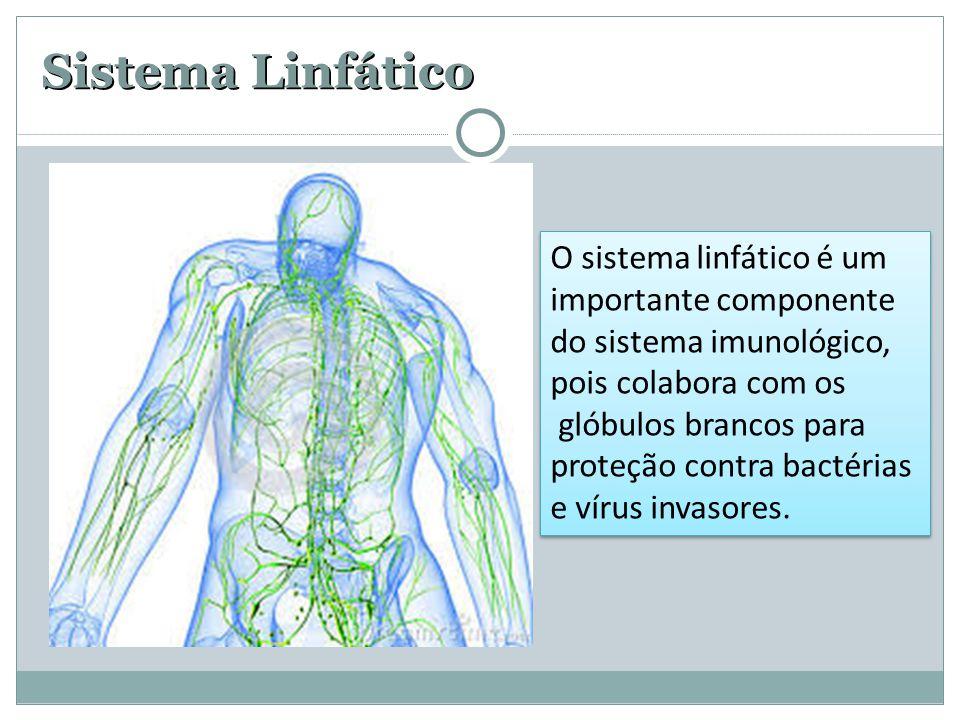 Sistema Linfático O sistema linfático é um importante componente do sistema imunológico, pois colabora com os glóbulos brancos para proteção contra ba