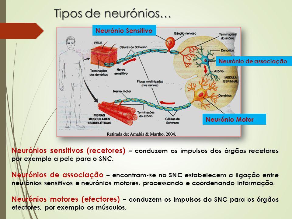 Tipos de neurónios… Neurónios sensitivos (recetores) – conduzem os impulsos dos órgãos recetores por exemplo a pele para o SNC.