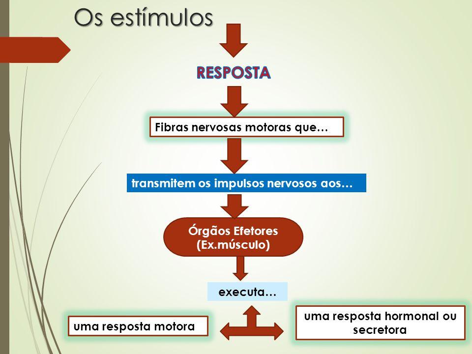 Os estímulos Fibras nervosas motoras que… transmitem os impulsos nervosos aos… Órgãos Efetores (Ex.músculo) executa… uma resposta motora uma resposta hormonal ou secretora
