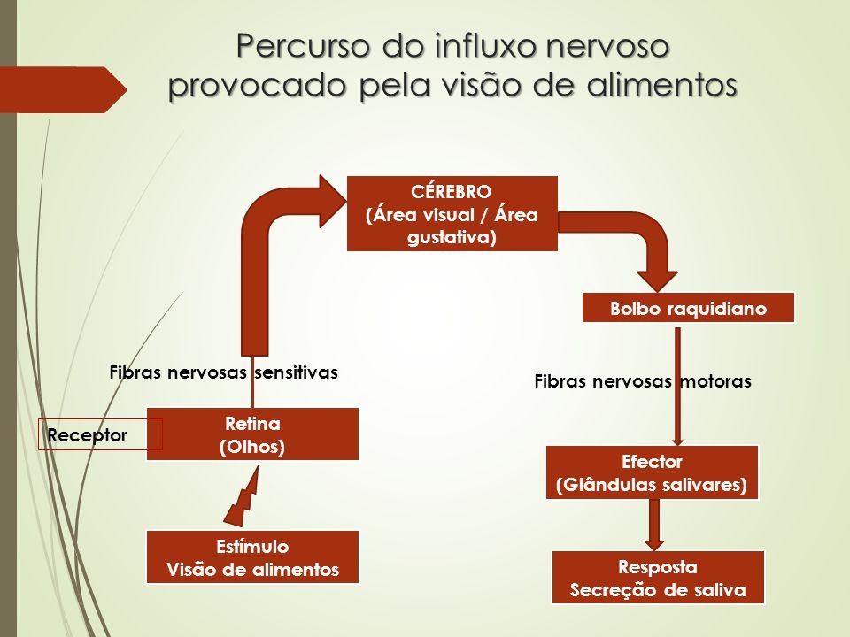 Percurso do influxo nervoso provocado pela visão de alimentos Estímulo Visão de alimentos Retina (Olhos) Receptor Fibras nervosas sensitivas CÉREBRO (Área visual / Área gustativa) Bolbo raquidiano Fibras nervosas motoras Efector (Glândulas salivares) Resposta Secreção de saliva