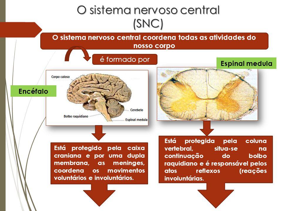 O sistema nervoso central (SNC) O sistema nervoso central coordena todas as atividades do nosso corpo é formado por Espinal medula Encéfalo Está protegido pela caixa craniana e por uma dupla membrana, as meninges, coordena os movimentos voluntários e involuntários.