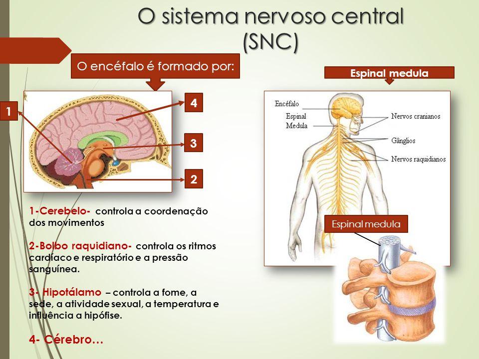 Os estímulos Existem vários órgãos envolvidos na captação e transmissão de estímulos e na elaboração de respostas, são os: RECEPTORES… de estímulos externos- os órgãos dos sentidos.