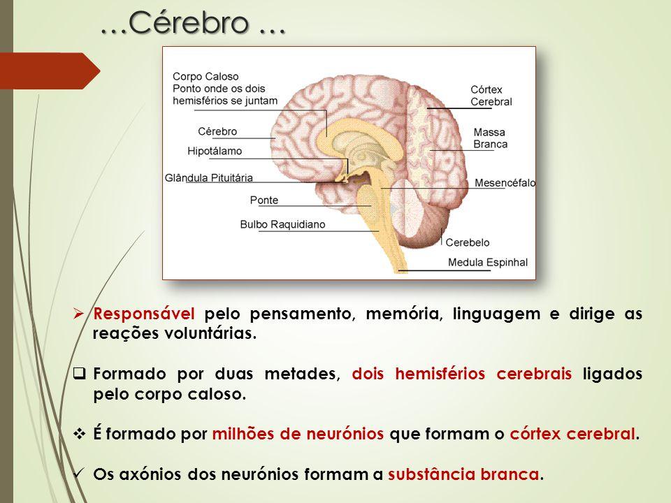 É graças a este sistema que o cérebro e a medula espinal recebem e enviam as informações permitindo-nos reagir às diferentes situações que têm origem no meio externo ou interno Constituído por nervos, gânglios nervosos e recetores sensoriais, localizados fora do sistema nervoso central.