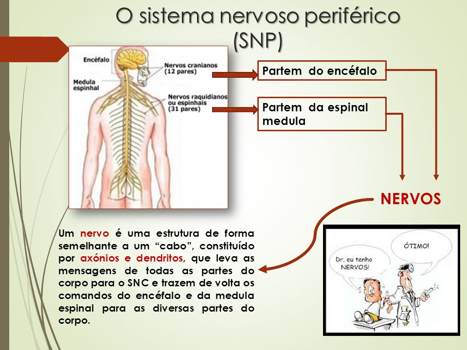 O sistema nervoso periférico (SNP) Partem do encéfalo Partem da espinal medula NERVOS Um nervo é uma estrutura de forma semelhante a um cabo , constituído por axónios e dendritos, que leva as mensagens de todas as partes do corpo para o SNC e trazem de volta os comandos do encéfalo e da medula espinal para as diversas partes do corpo.