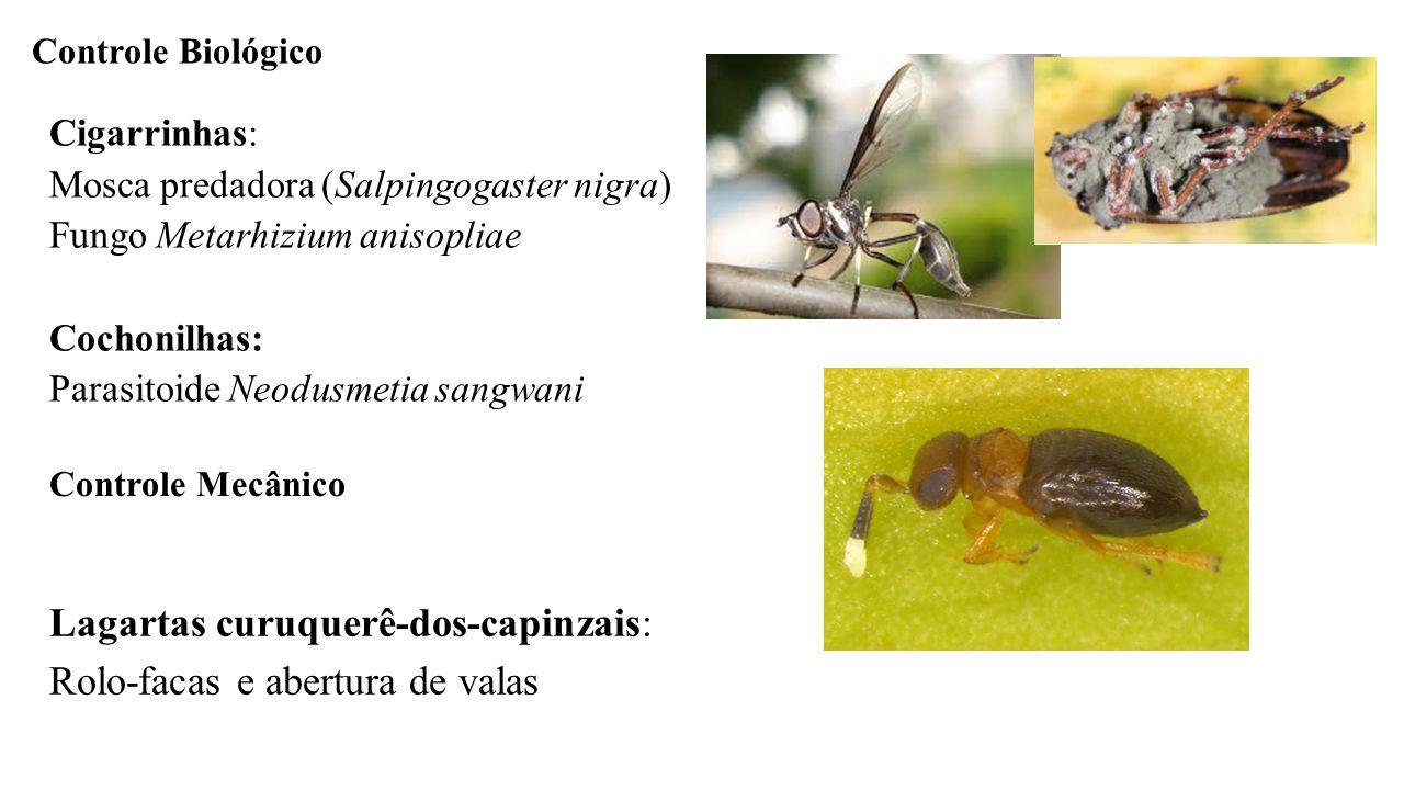 Cigarrinhas: Mosca predadora (Salpingogaster nigra) Fungo Metarhizium anisopliae Cochonilhas: Parasitoide Neodusmetia sangwani Controle Biológico Cont