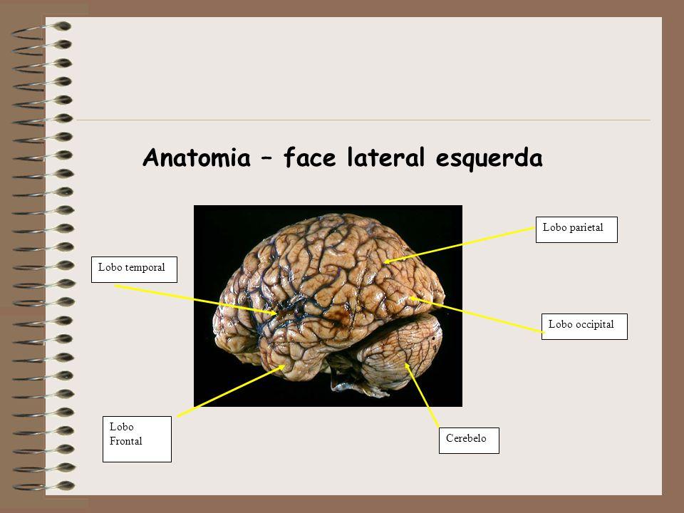 Lobo Frontal Lobo temporal Cerebelo Lobo occipital Lobo parietal Anatomia – face lateral esquerda