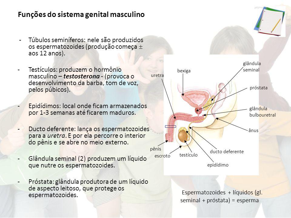 Funções do sistema genital masculino -Túbulos seminíferos: nele são produzidos os espermatozoides (produção começa  aos 12 anos).