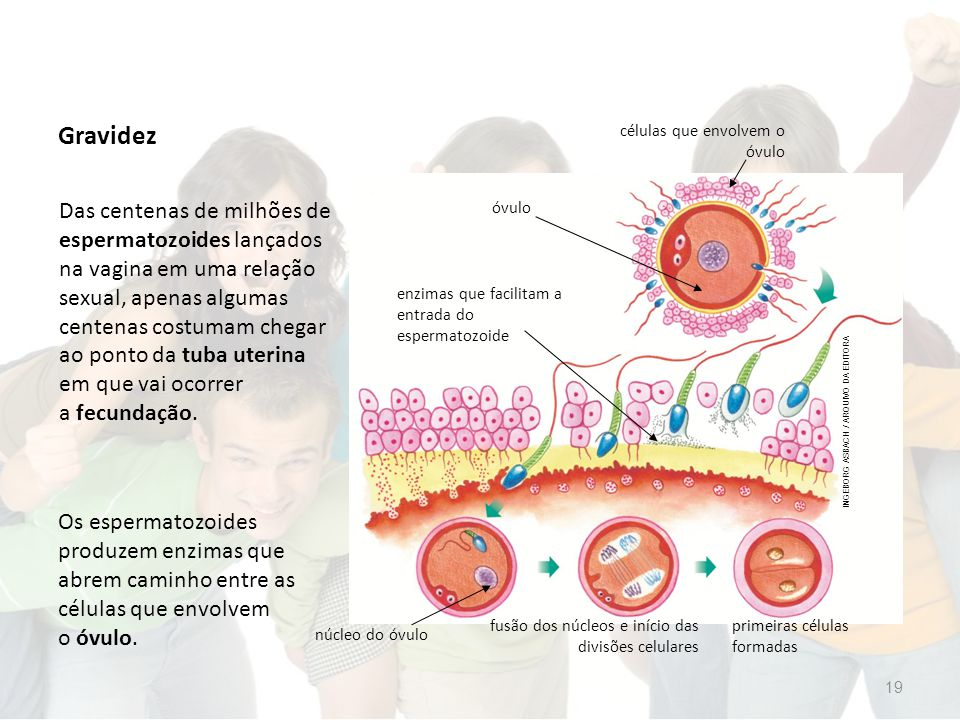 Gravidez Os espermatozoides produzem enzimas que abrem caminho entre as células que envolvem o óvulo.
