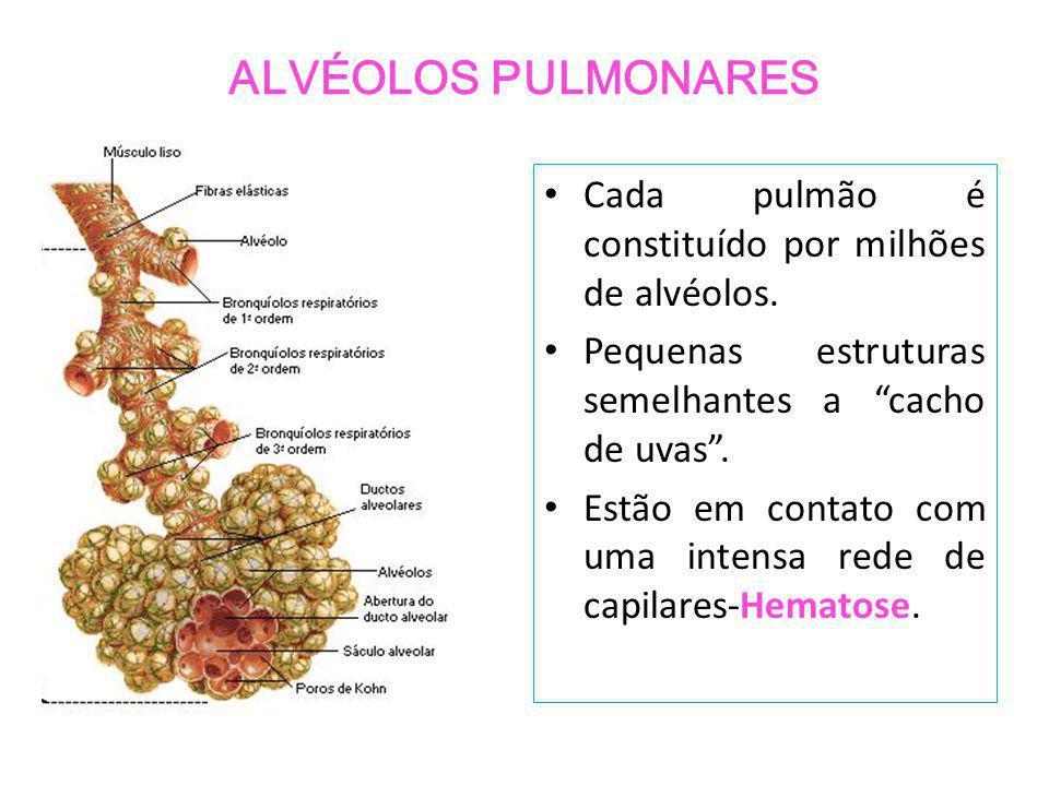 ALVÉOLOS PULMONARES Cada pulmão é constituído por milhões de alvéolos.