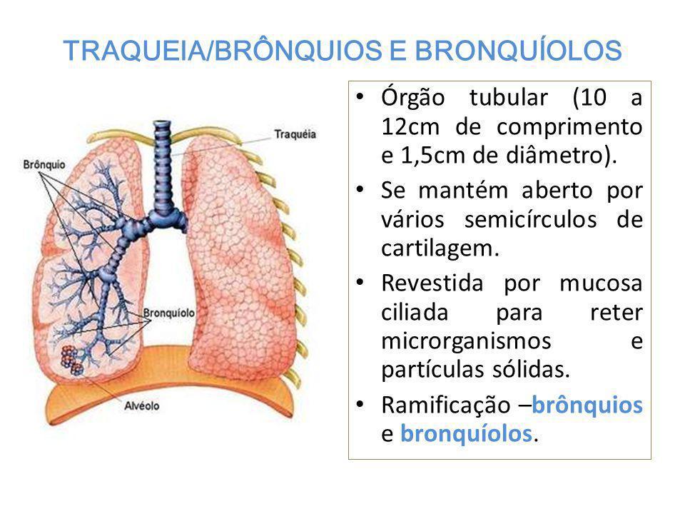 TRAQUEIA/BRÔNQUIOS E BRONQUÍOLOS Órgão tubular (10 a 12cm de comprimento e 1,5cm de diâmetro).
