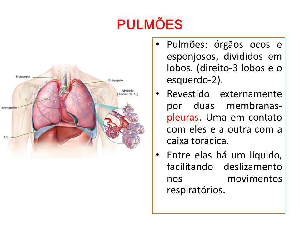 PULMÕES Pulmões: órgãos ocos e esponjosos, divididos em lobos.