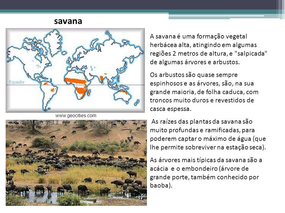 A savana é uma formação vegetal herbácea alta, atingindo em algumas regiões 2 metros de altura, e
