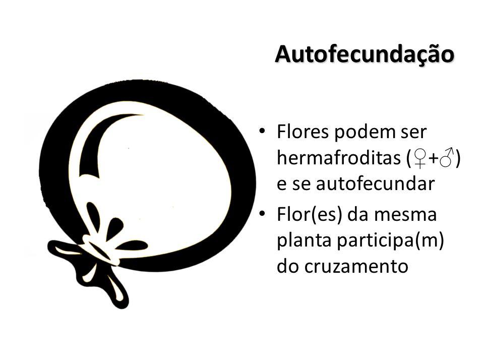 Autofecundação Flores podem ser hermafroditas ( ♀ + ♂ ) e se autofecundar Flor(es) da mesma planta participa(m) do cruzamento