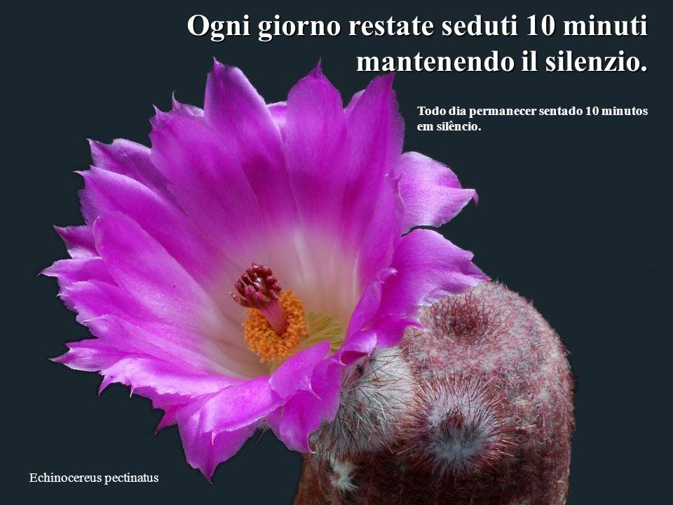Echinocereus pectinatus Ogni giorno restate seduti 10 minuti mantenendo il silenzio.
