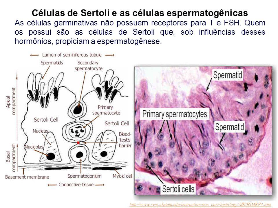 Células de Sertoli e as células espermatogênicas As células germinativas não possuem receptores para T e FSH. Quem os possui são as células de Sertoli