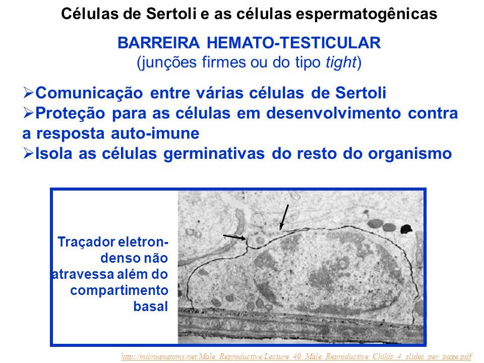  Comunicação entre várias células de Sertoli  Proteção para as células em desenvolvimento contra a resposta auto-imune  Isola as células germinativ