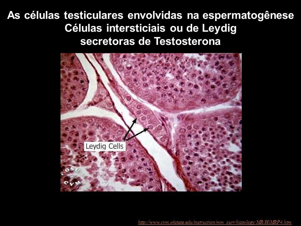 http://www.cvm.okstate.edu/instruction/mm_curr/histology/MR/HiMRP4.htm As células testiculares envolvidas na espermatogênese Células intersticiais ou