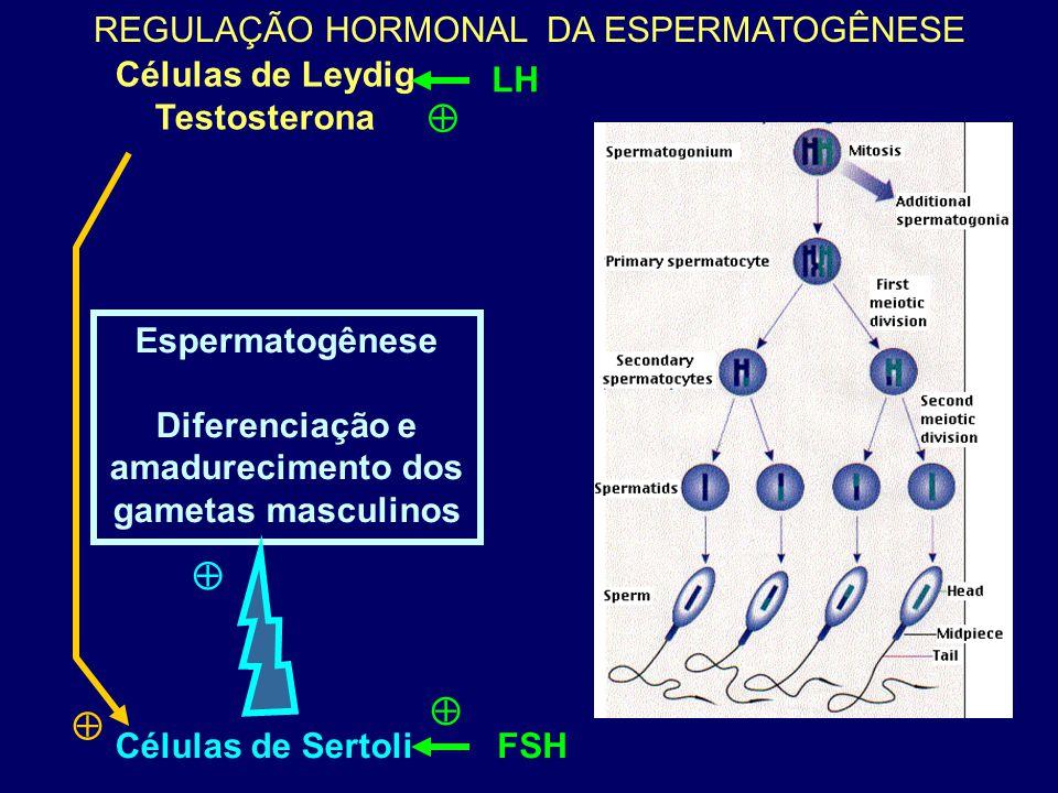 Espermatogênese Diferenciação e amadurecimento dos gametas masculinos Células de Leydig Testosterona Células de Sertoli  REGULAÇÃO HORMONAL DA ESPERM