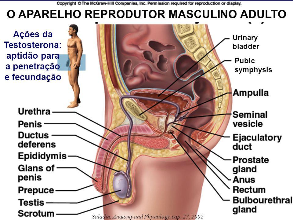 Saladin, Anatomy and Physiology, cap. 27, 2002 O APARELHO REPRODUTOR MASCULINO ADULTO Ações da Testosterona: aptidão para a penetração e fecundação Ur