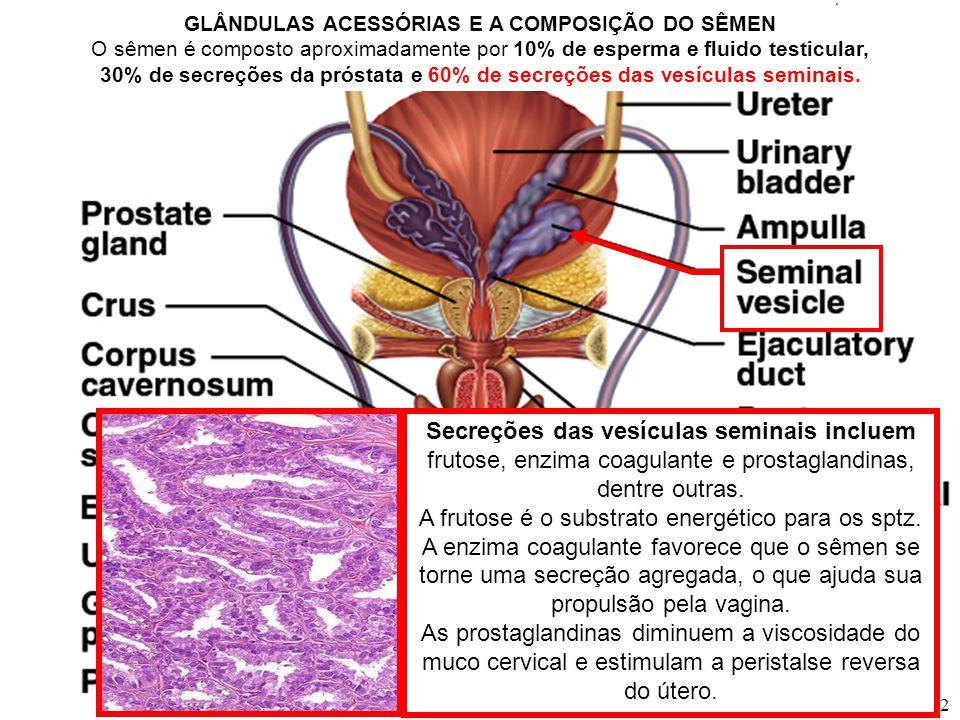 Células de Leydig Células de Sertoli Células germinativas testículo AS AÇÕES DAS GONADOTROFINAS E DA TESTOSTERONA NAS CÉLULAS TESTICULARES ENVOLVIDAS NA ESPERMATOGÊNESE T parácrina Células mióides parácrina ADENOHIPÓFISE FSHLH LH: hormônio luteinizante; FSH: hormônio foliculoestimulante T T proliferação e diferenciação das células de Sertoli estimula a síntese das enzimas da esteroidogênese Inibina