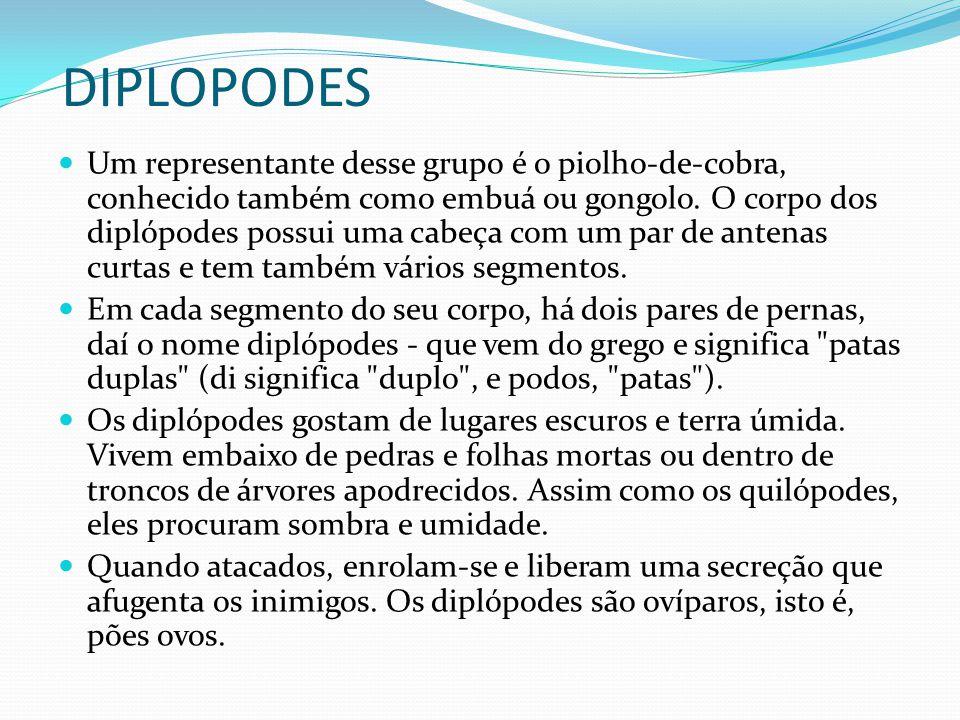 DIPLOPODES Um representante desse grupo é o piolho-de-cobra, conhecido também como embuá ou gongolo. O corpo dos diplópodes possui uma cabeça com um p