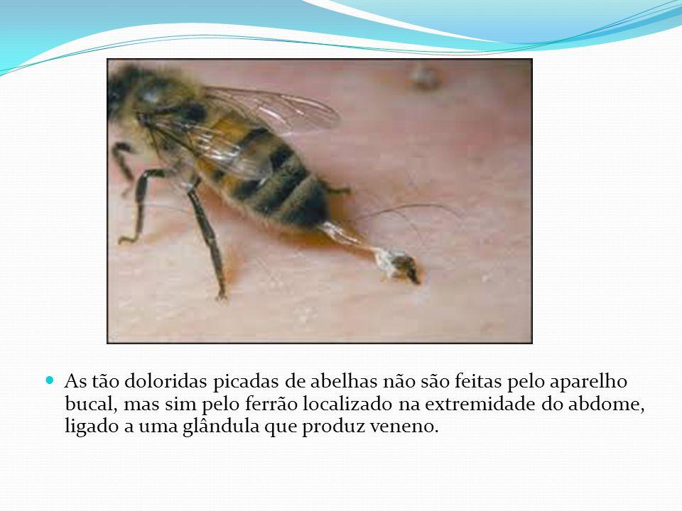 As tão doloridas picadas de abelhas não são feitas pelo aparelho bucal, mas sim pelo ferrão localizado na extremidade do abdome, ligado a uma glândula