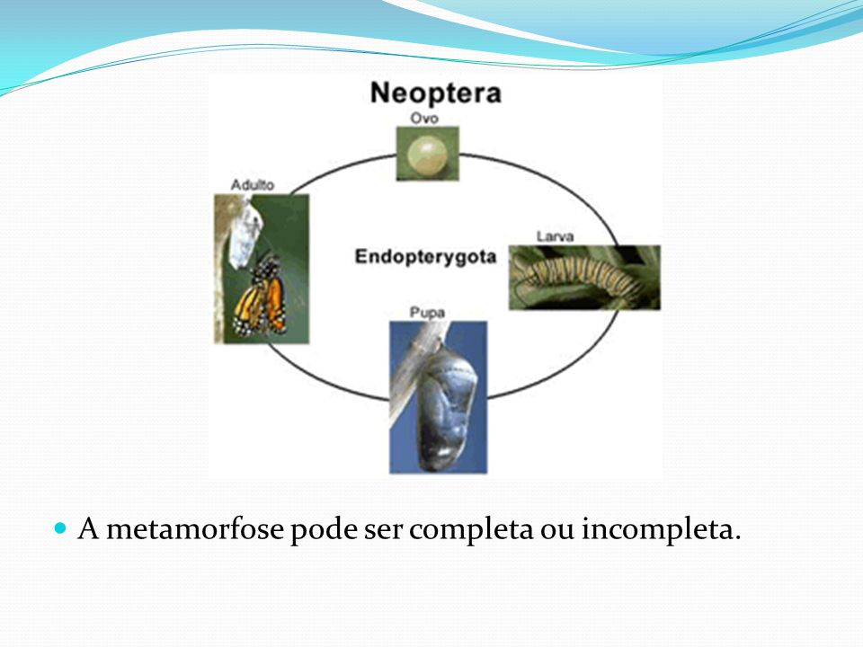 A metamorfose pode ser completa ou incompleta.